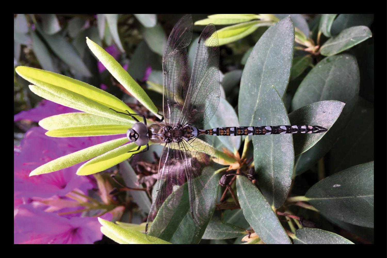 Dragonfly on Fuchsia